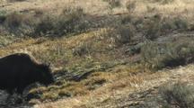 Bison (Bison Bison) Walk Uphill Dripping Water