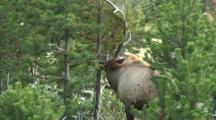 Bull Elk (Cervus Elaphus) Rubs Antlers On Pine Tree