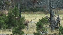 Bull Elk (Cervus Elaphus) Herds Cows Through Small Pines