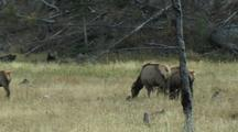 Pan Across Cows To Bull Elk (Cervus Elaphus)
