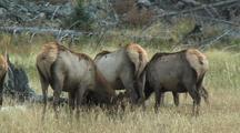 Elk (Cervus Elaphus) Cows Graze