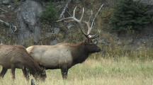 Cow Grazes Near Bull Elk (Cervus Elaphus)