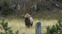 Bull Elk (Cervus Elaphus) Moves Towards Camera, Paws Ground, Bugles