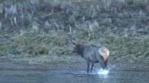Bull Elk (Cervus Elaphus) Wades Across River