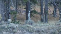 Bull Elk (Cervus Elaphus) Walks In Front Of Trees Right To Left