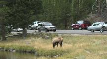 Bull Elk (Cervus Elaphus) Lays Down By Side Of The Road, Cars On Road