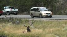 Bull Elk (Cervus Elaphus) Lays In Grass Near Road, Cars Pass In Background