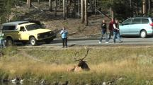 Bull Elk (Cervus Elaphus) Lays In Grass And People Watch From Road