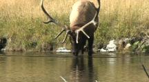 Bull Elk (Cervus Elaphus) Stands In Water And Drinks