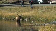 Bull Elk (Cervus Elaphus) Stands In Water While People Watch And Cars Pass