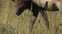 Elk (Cervus Elaphus) Calf Licks Fur