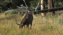 Elk (Cervus Elaphus) Calf Grazes