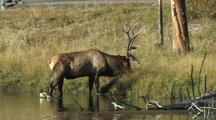 Bull Elk (Cervus Elaphus) Leaves Water, Pull Back To Reveal People Watching