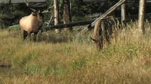 Bull Elk (Cervus Elaphus) Runs Up To Elk Cow, Tries To Mount, Cars In Background
