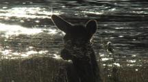 Elk (Cervus Elaphus) Calf Lays Near River, Silhouetted, Facing Camera