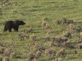 Grizzly Bear (Ursus Arctos) Mom Walks Through Sage, Little Cub Follows