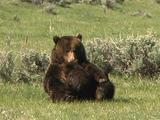 Grizzly Bear Nurses (Ursus Arctos) With Cub