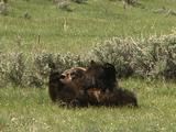 Grizzly Bear Nurses Cub