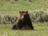 Grizzly Bear Nurses Cub, Both Walk Away