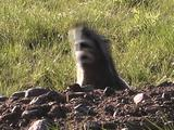 Badger (Taxidea Taxus) Rolls And Walks Backward With Mouth Open