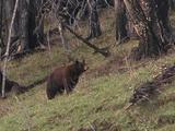 Black Bear (Ursus Americanus) In Burn, Walks And Sniffs