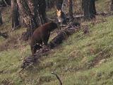 Black Bear (Ursus Americanus) In Burn, Walks And Sniffs