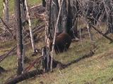 Black Bear (Ursus Americanus) Walks In Forest