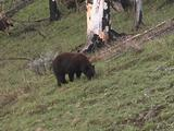 Black Bear (Ursus Americanus) Grazes In Burn Area