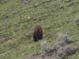 Black Bear (Ursus Americanus) Walks Along Hillside Towards Camera