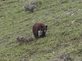 Black Bear (Ursus Americanus) Walks Along Hillside