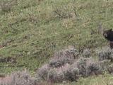 Black Bear (Ursus Americanus) Walks Downhill
