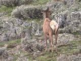 Elk Cows (Cervus Elaphus) Stands In Sage With Back To Camera