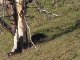 Black Bear (Ursus Americanus) Eats Elk Calf In Shadow Of Tree