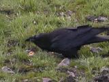 Raven (Corvus Corax) Eats Egg