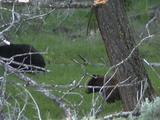 Two Black Bears (Ursus Americanus) Graze In Green Grass Under Trees