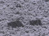 Grizzly Bear (Ursus Arctos) And Two Cubs Walk Downhill In Heavy Snowfall