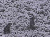 Two Grizzly Bear (Ursus Arctos) Cubs Stand And Look, Run Through Heavy Snowfall