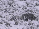 Grizzly Bear (Ursus Arctos) Sniffs In Heavy Snowfall
