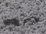 Grizzly Bear (Ursus Arctos) And Cubs Walk Through Sage In Heavy Snowfall