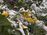 Yellow Flowers With Snow On Them In Light Snowfall