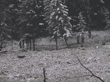 Three Wolves (Canis Lupus) Trot Through A Field Near Trees In The Snow
