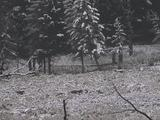 Two Wolves (Canis Lupus) Trot Through A Field Near Trees In The Snow