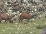 Two Elk (Cervus Canadensis) Cows Graze In Grass And Patchy Snow