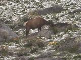 Elk (Cervus Canadensis) Cow Grazes In Grass And Patchy Snow Near Rocks