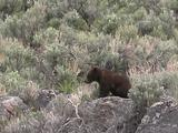 Grizzly Bear (Ursus Arctos) Cub Sits On Rock In Sage, Walks Off