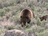 Grizzly Bear (Ursus Arctos) And Cub Graze Through Sage Towards Camera