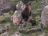 Grizzly Bear (Ursus Arctos) And Cub Walk Uphill Through Rocks