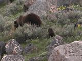 Grizzly Bear (Ursus Arctos) And Cub Walk Uphill Through Rocks And Sage