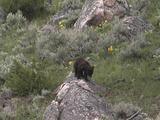 Grizzly Bear (Ursus Arctos) Cub Walks Down Rock, Off Camera