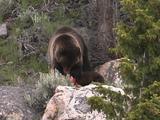 Grizzly Bear (Ursus Arctos) And Cub Eat Carcass On Rocks